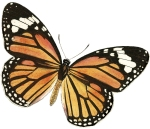 butterfly, monarch