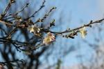 xmas star and blossom 016