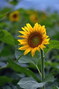 sunflower-GBB_6721a