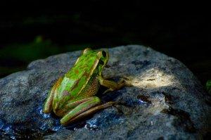 Frog_on_a_Rock_by_Solo_Phoenix