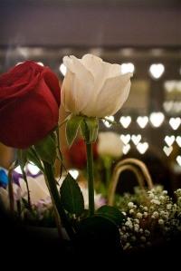 red white roses