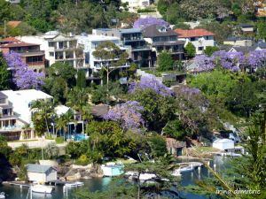 November is the month of Jacarandas in Australia.