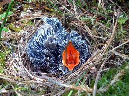 Cuculus_canorus_chick1
