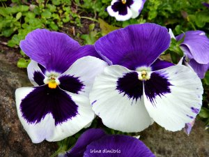 p1120360-pansies-signed