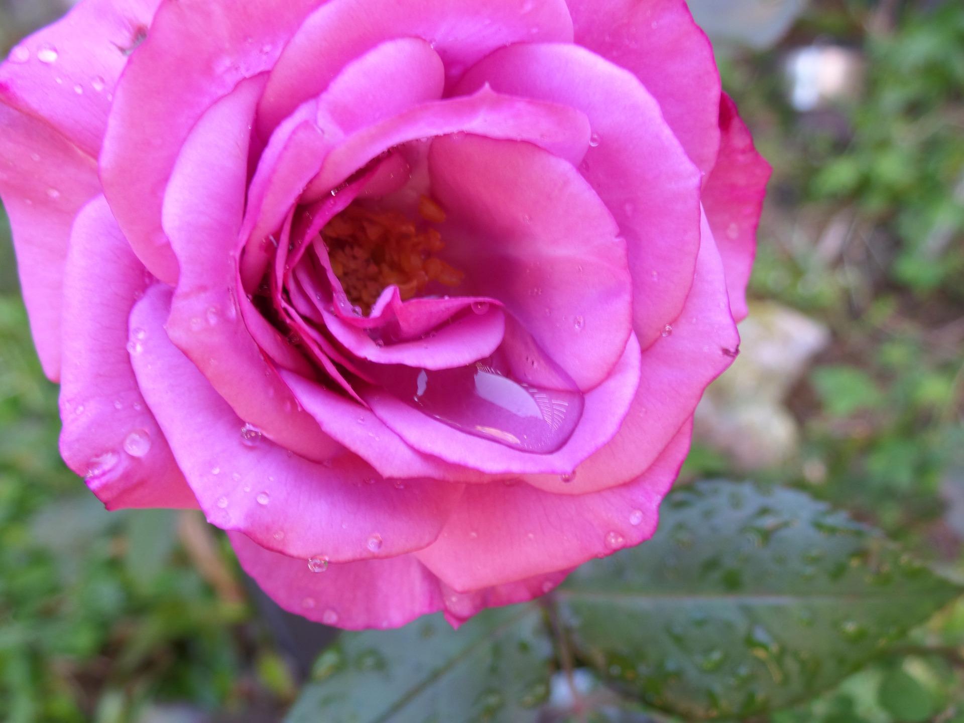rose-648645_1920