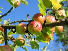 apple-tree-360083_1920