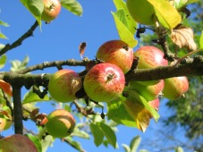 apple-tree-360083_1920