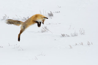 jumping-fox