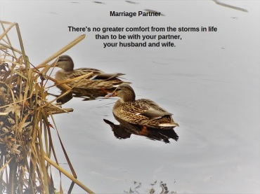photos mallard couple
