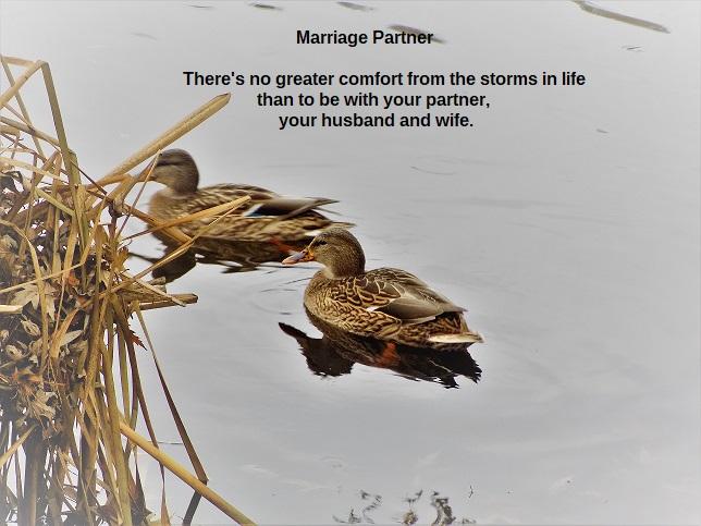 photos mallard couple