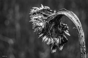 A DEAD SUNFLOWER