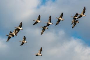 grey-geese-2112216_1920