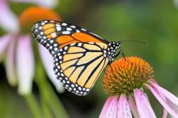 monarch-butterfly-2272156_1920