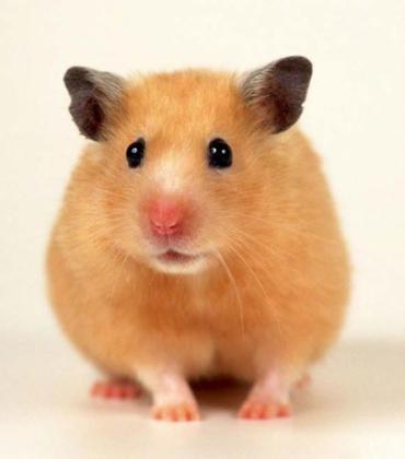 brown hamster