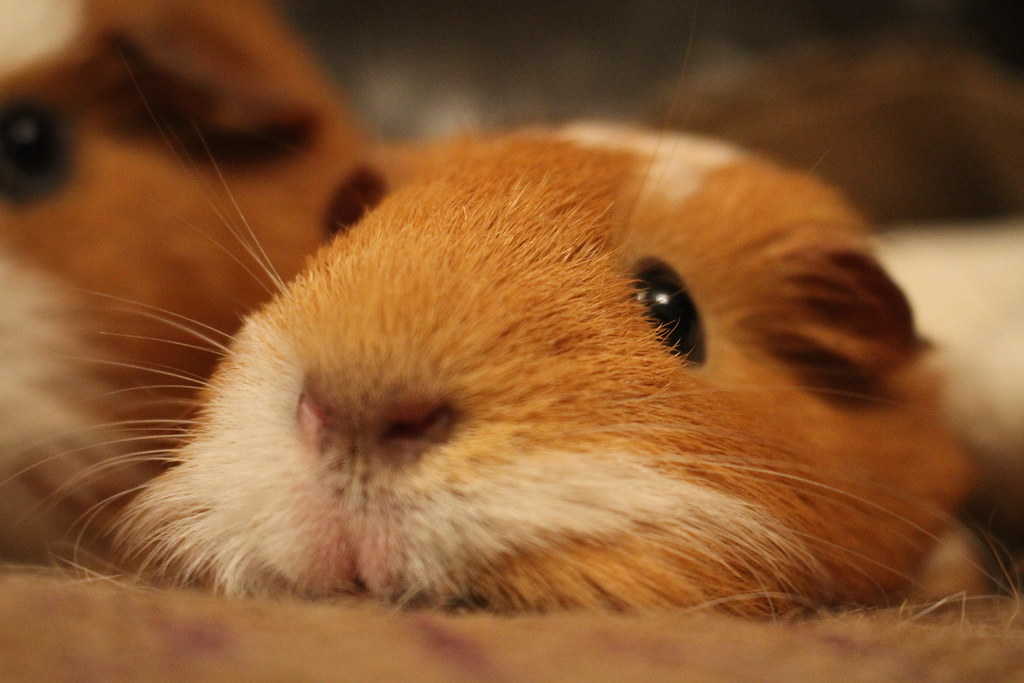 cute brown cavy