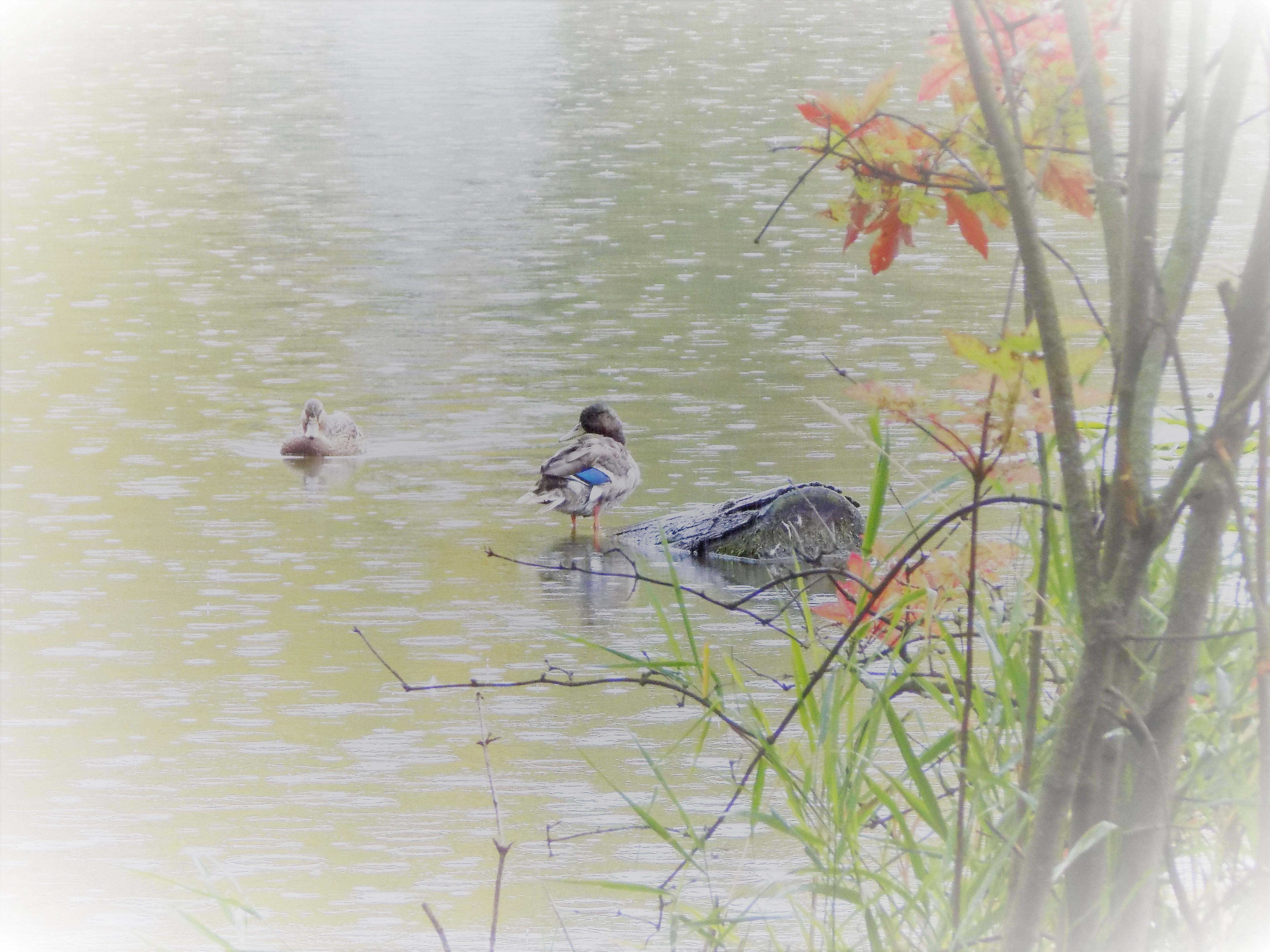ducks in fall 2018