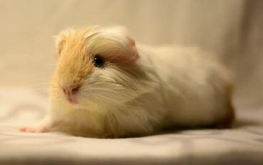 soft guinea pig